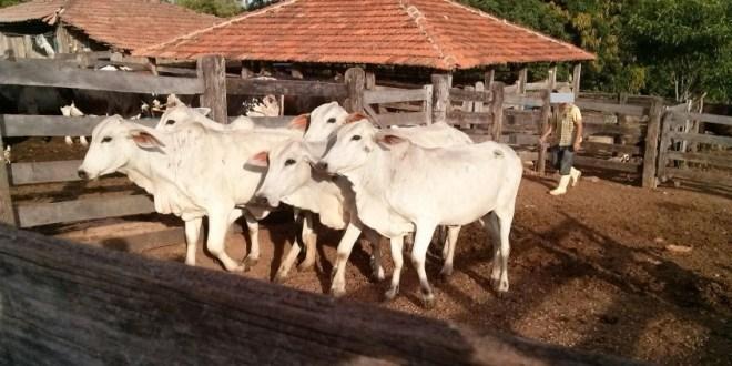 Polícia Civil recupera gado furtado e prende suspeitos em Pontalina