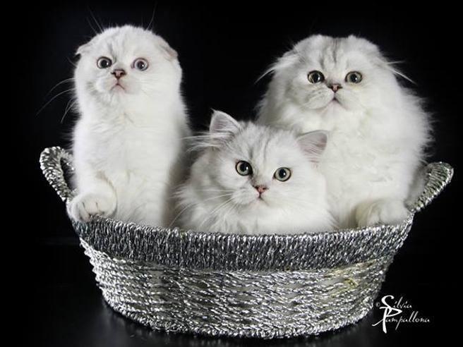I gatti pi belli del mondo alla Fiera di Padova