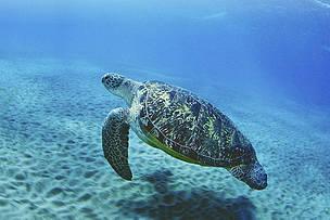tartaruga, generazione mare