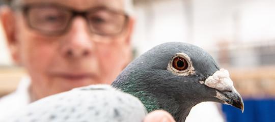 piccione viaggiatore record armando