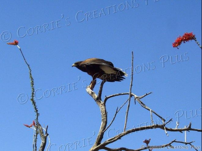 Harris hawk; photo taken west of Tucson