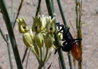 A tarantula hawk, aka pepsis wasp; taken in the Catalina Mountains, southeastern Arizona