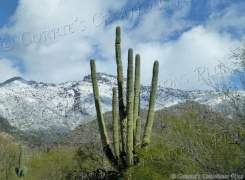 Giant Saguaro cactus backdropped by the snow-capped Catalina Mountains