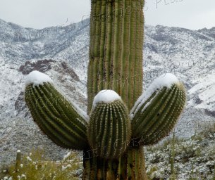Up in Arms! Giant Saguaro cactus backdropped by the snow-capped Catalina Mountains in Tucson