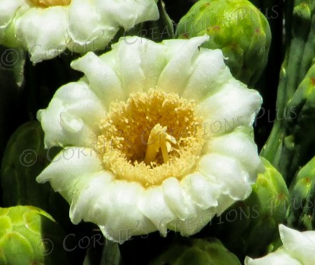 Blossom of a Saguaro cactus