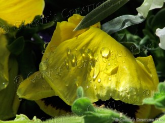 Morning raindrops on a yellow flower