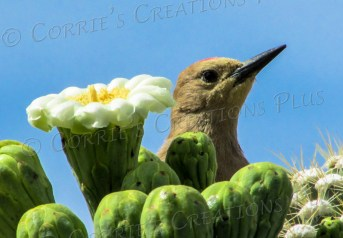 A Gila woodpecker peeks over some Saguaro blossoms.