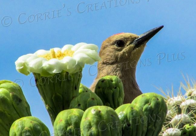 A Gila woodpecker peeks over some Saguaro blossoms.