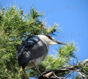 A black-crowned night heron is nestled in a tree in Tucson.