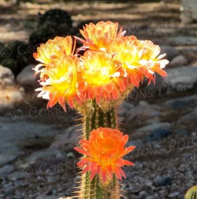 Orange and yellow blossoms of a trumpet cactus
