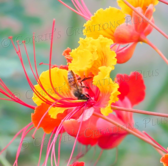 A honeybee pollinates on a Bird-of-Paradise flower.