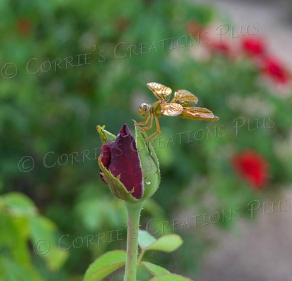 Taken at Tucson's Rose Garden in Reid Park