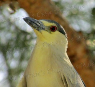 A black-crowned night heron sits in the treetops in Tucson.