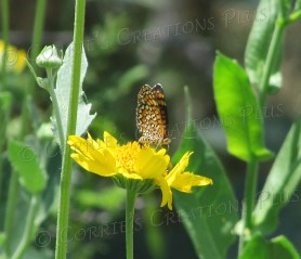 A monarch in McDonald Park, Tucson, Arizona