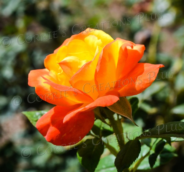 These two colors mesh beautifully in this photo of a rose taken on the University of Arizona campus.