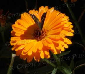 "This monarch butterfly graces the orange flower with his ""V"" look and his shadow."