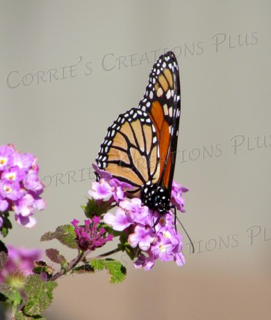 Monarch butterfly pollinating on verbena