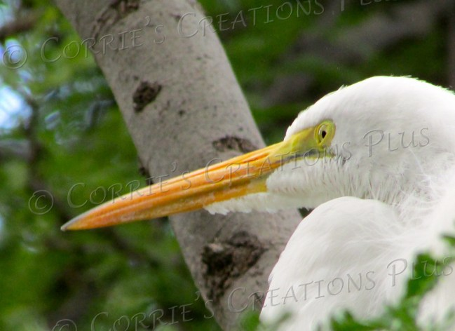 This white egret is perching in a tree at Reid Park in Tucson.