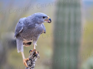 This photo of the Gray Hawk was taken west of Tucson.