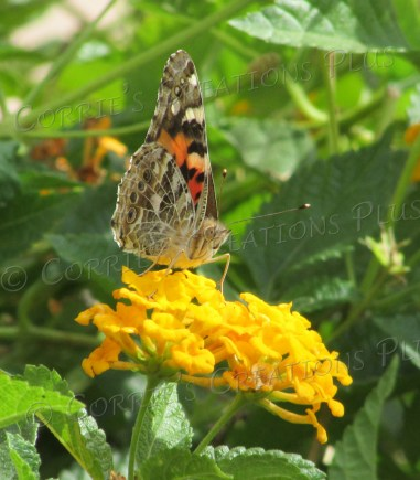 A Monarch butterfly pollinates on a yellow lantana flower in Tucson, Arizona.