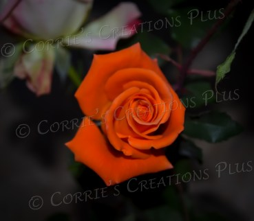 Taken at dusk for a different look to this orange rose