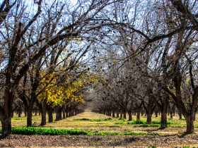 Pecan grove near Casa Grande, Arizona. Notice how the eye is drawn to the center of the grove.
