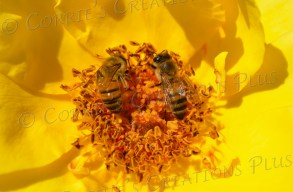 Two honeybees pollinating a yellow rose