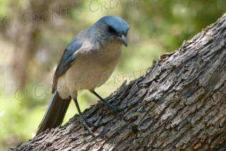 An Arizona jay in southeastern Arizona