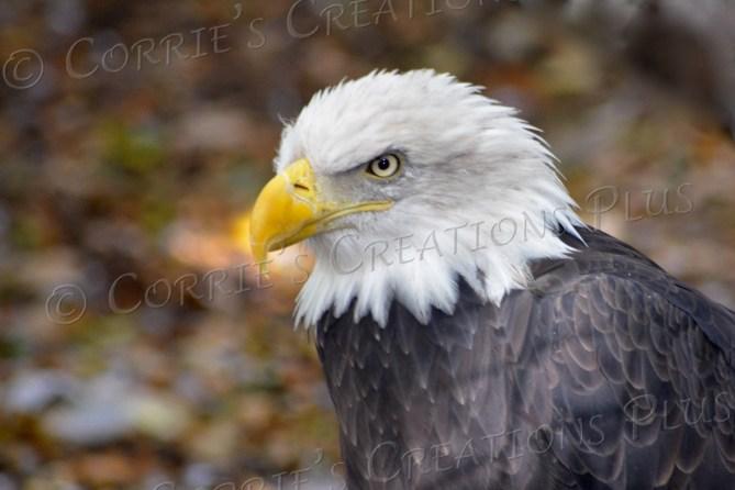 Bald eagle; photo taken in southeastern Nebraska