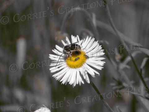 Bee on a spreading fleabane, Mt. Lemmon, Arizona