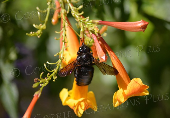 Bee on yellowbells