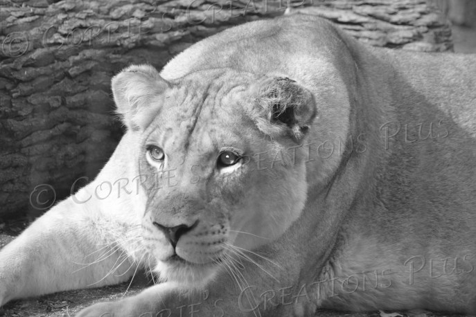 This female lion cub has her eyes on something!