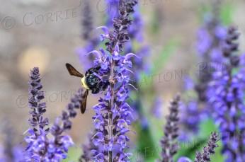 A bumblebee pollinating; taken in southeastern Nebraska