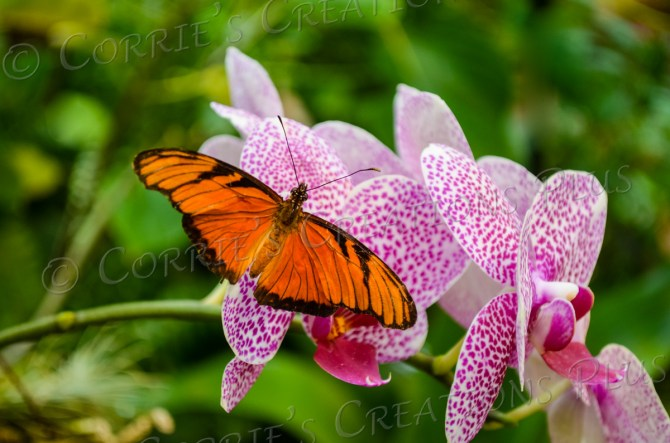 Butterfly on orchids