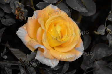 A yellow rose done in one-point color