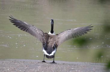 A Canada goose spreads his wings. Photo taken in southeast Nebraska