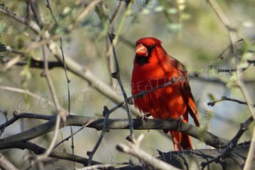 Beautiful red cardinal in northeast Tucson
