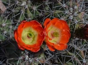 Claret cup cactus in bloom