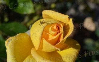 An unidentified insect rests on a beautiful yellow rose.