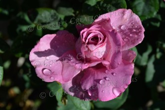 Raindrops on a rose (the next several photos are of flowers after a rainy night in Tucson).