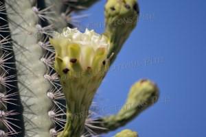 The blossom of a Saguaro cactus