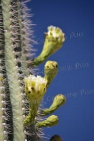 Saguaro cactus in bloom in Tucson