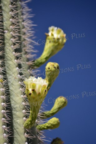 Saguaro cactus in bloom in Tucson