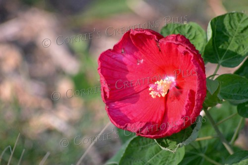 Red tulip. Lewiston, Nebraska