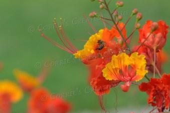 Honeybee on a bird-of-paradise