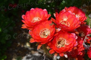 Four red trumpet cacti blossoms
