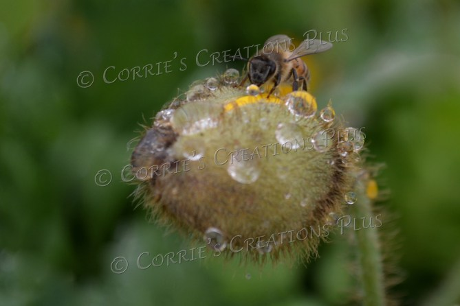 A honeybee pollinates on a golden poppy about to bloom. Taken just after a spring rain in Tucson, AZ