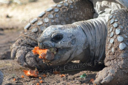 Turtle trying to eat his carrot. He really struggled with this and was fun to watch.