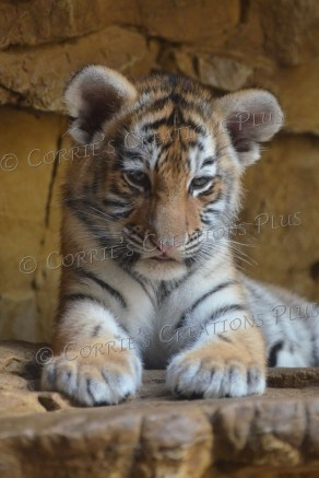 About to nod off. Just after taking this photo, this Amur tiger cub fell asleep.