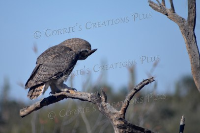 It looks like this great horned owl is praying or meditating!